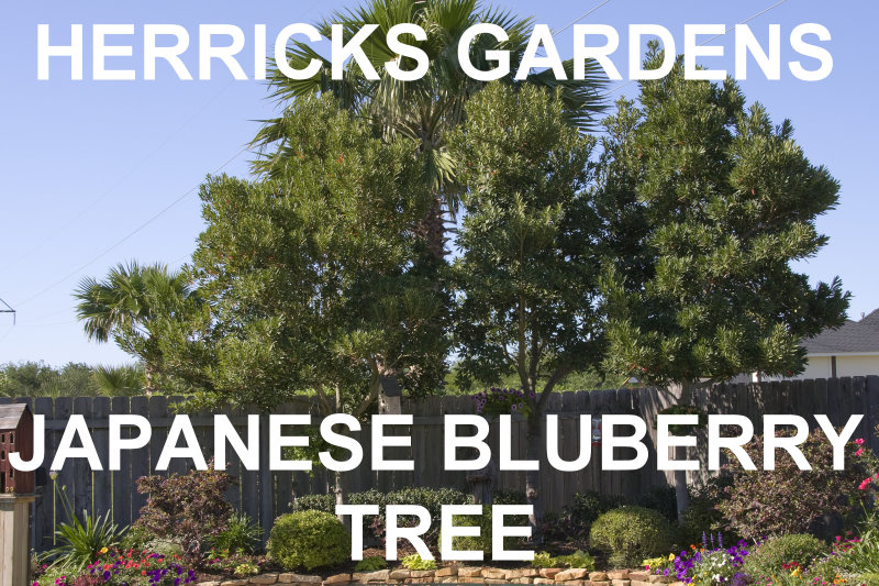 japanese blueberry tree leaves turning brown fruit evergreen height width moderate grower rust colored