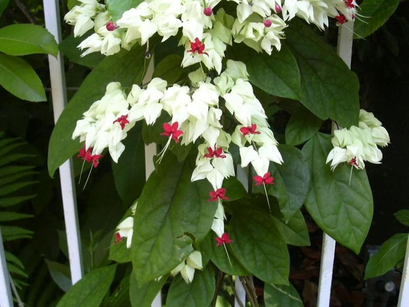 Patriotic Plants Bleeding Heart Clerodendrum