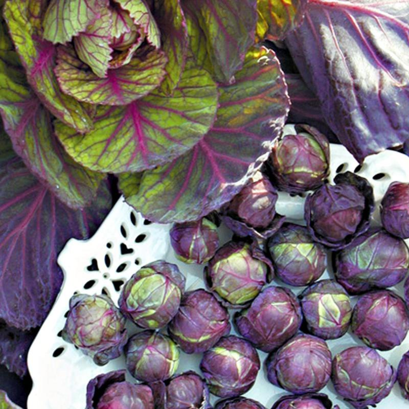 Red/purple Rubine Variety Brussels Sprouts