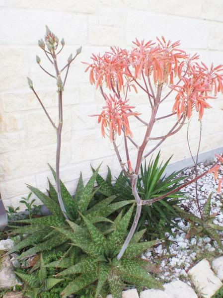 Aloe nobilis also known as Gold Tooth Aloe